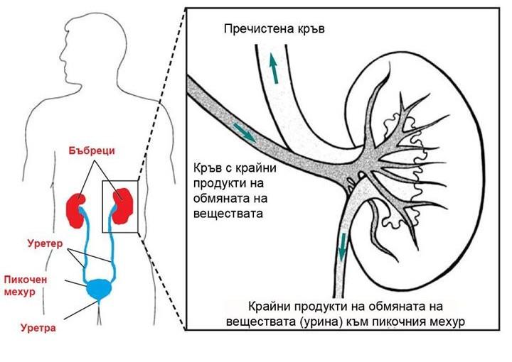 Бъбреците филтрират кръвта в човешкото тяло до 300 пъти на ден