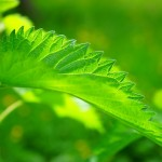 Чай от коприва чисти от токсини