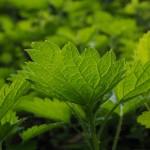 7 растения с детоксикиращи функции